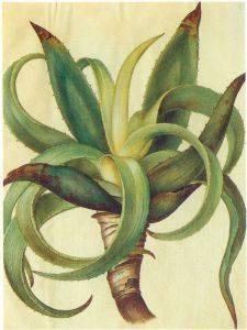 Aloe vera para hacer crecer las uñas de las manos